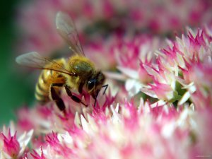 bee-on-flower4